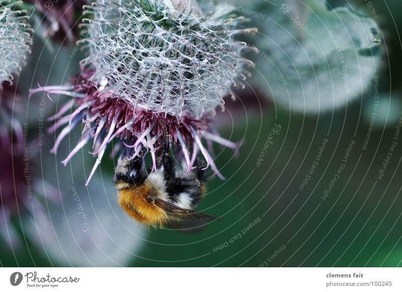 Hummel auf Diestel Blüte krabbeln Insekt fleißig Sammlung Staubfäden Pollen Makroaufnahme Nektar Distel