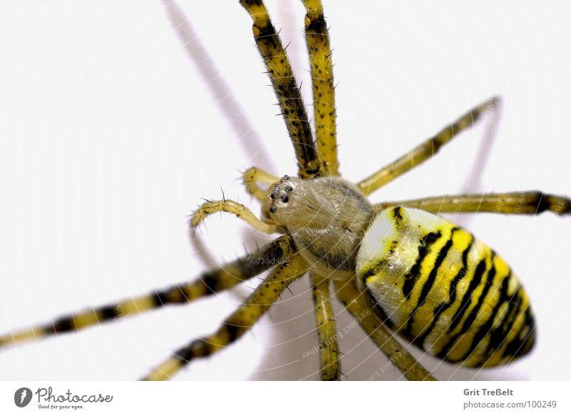 Wespenspinne Auge klein Angst Ekel Spinne Wespenspinne