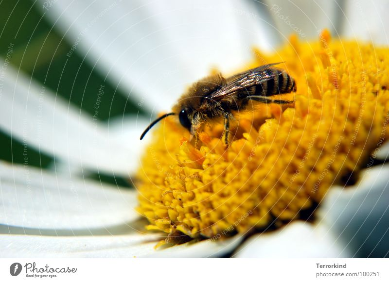 Honierend. weiß Blume Auge gelb Beine Flügel Biene Blüte Fühler Pollen fleißig Staubfäden Blütenstempel ansammeln Nektar