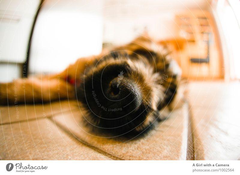 Super Cooper Tier Haustier Hund Schnauze 1 Tierjunges liegen schlafen Welpe Pause Briard Gedeckte Farben Innenaufnahme Nahaufnahme Detailaufnahme Menschenleer