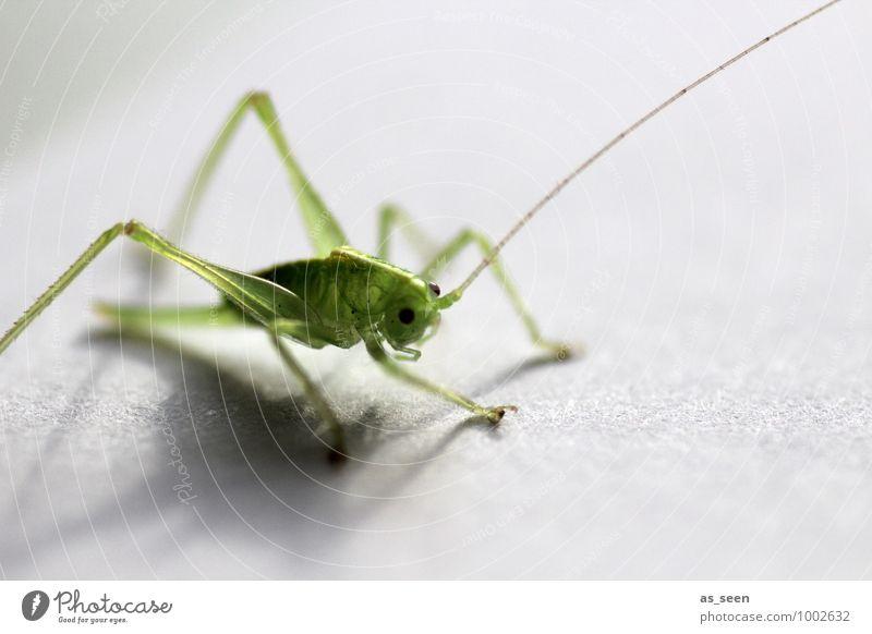 Grashüpfer grün Farbe Sommer Tier Leben Auge natürlich Frühling klein hell Beine glänzend sitzen frisch ästhetisch Beginn