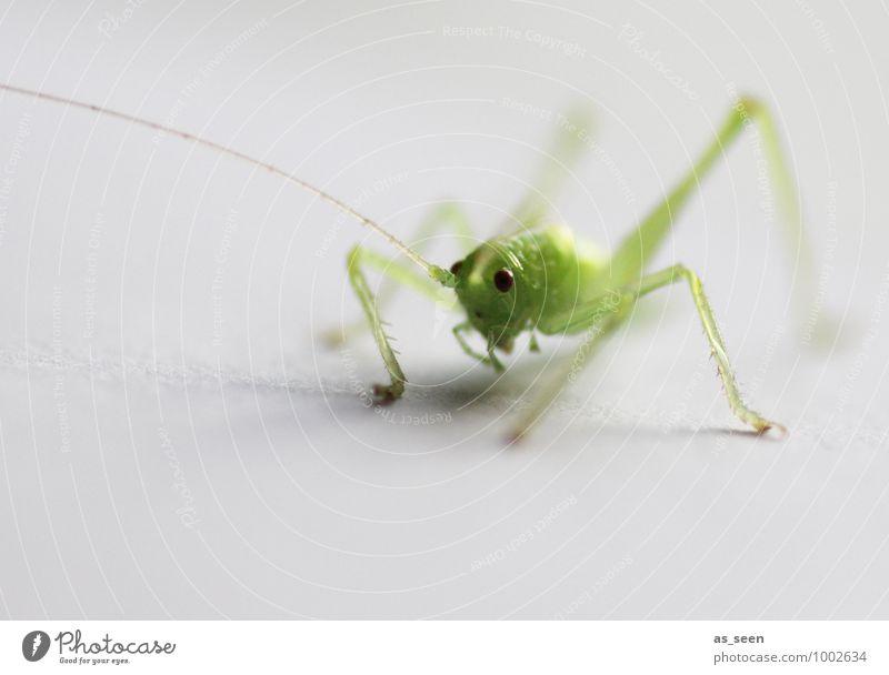 Jump! elegant Leben Umwelt Natur Tier Frühling Sommer Grashüpfer Heuschrecke Insekt Insektenauge 1 springen ästhetisch frisch klein niedlich grün Lebensfreude