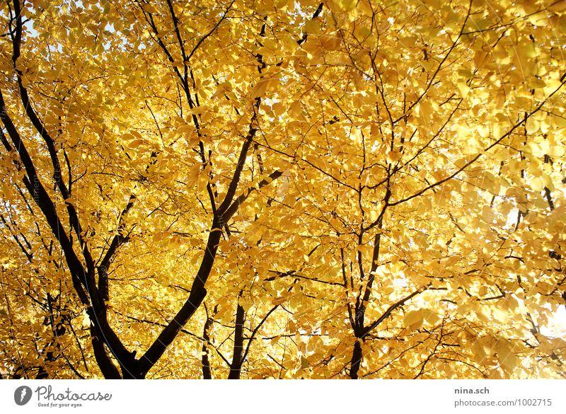 Herbst / gelbe Blätter Garten Umwelt Natur Pflanze Baum Blatt Grünpflanze Park gelbgold Herbstlaub Herbstbeginn Herbstfärbung herbstlich Herbstwetter