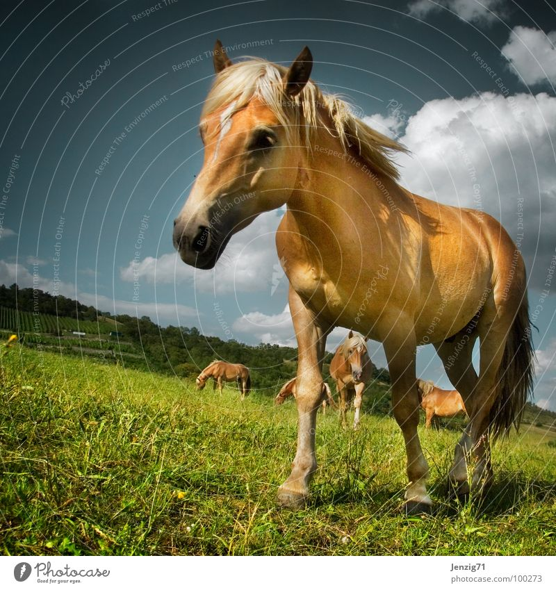 Pferdchen. Haflinger Mähne Weide Tier Säugetier Paddock horse horses