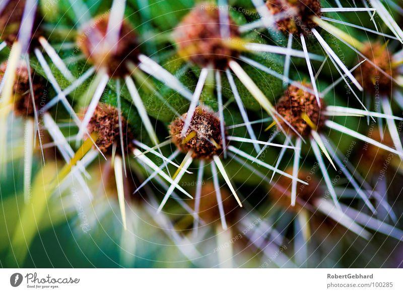 Kaktus 1 grün Pflanze Garten Park Stern (Symbol) gefährlich Wüste Spitze Schmerz Botanik Tiefenschärfe Kaktus Stachel stachelig Dorn stechen