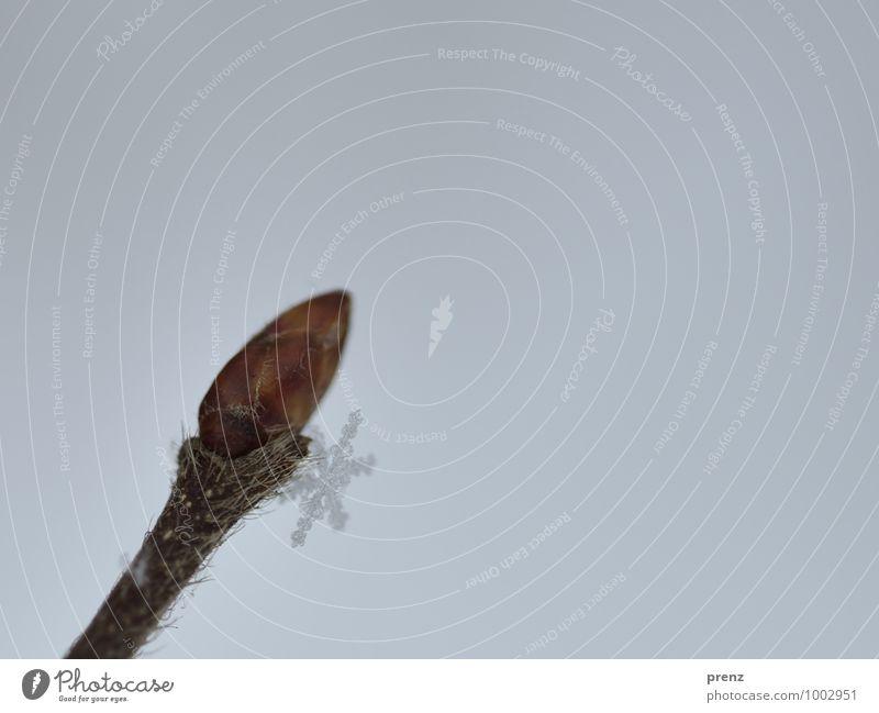 Die letzte Flocke Umwelt Natur Pflanze Winter Schnee Sträucher kalt braun grau Schneeflocke Schneekristall Blütenknospen Frühling Farbfoto Außenaufnahme