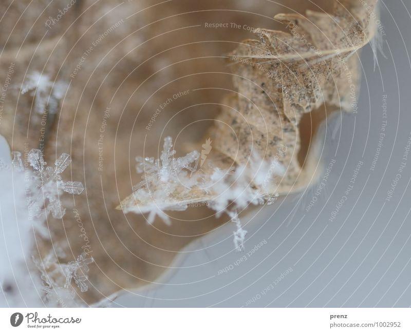 Schnee auf Laub Umwelt Natur Herbst Winter Schneefall grau weiß Schneeflocke Schneekristall Blatt Farbfoto Außenaufnahme Nahaufnahme Makroaufnahme Menschenleer