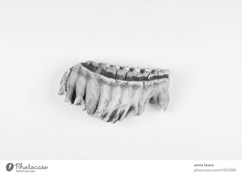 elefantenknochen Tier Wildtier Totes Tier 1 Fährte alt ästhetisch exotisch schwarz weiß Identität Symmetrie Tod Umweltschutz Schwarzweißfoto Studioaufnahme