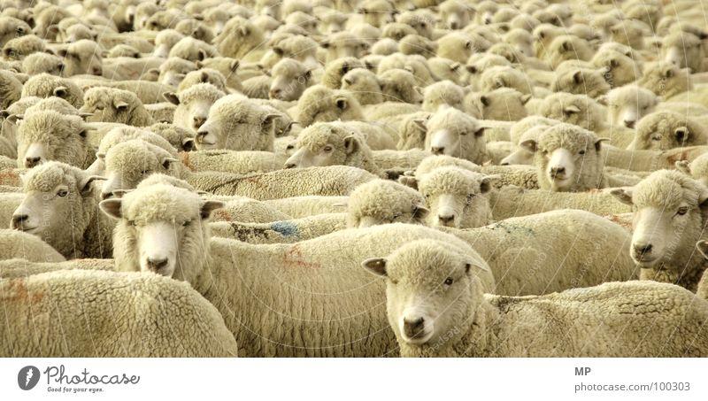 Sailing the Seas of Sheep Schaf Wolle weich kuschlig Fell Physik Tier Textilien Schneider Gentechnik Genetik Klonen dumm Hochmut Bauernhof Landwirtschaft