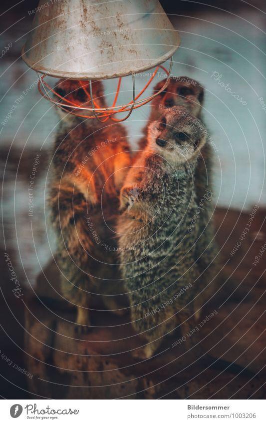 Stehlampe Tier Winter kalt Wärme lustig grau braun orange Wildtier stehen Tiergruppe niedlich Warmherzigkeit Fell Zoo Geborgenheit