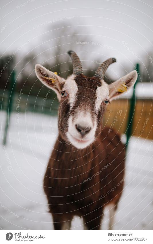 . Wind Schnee Tier Haustier Nutztier Fell Zoo Streichelzoo Ziegen 1 beobachten Blick stehen Neugier niedlich braun grau grün Tierliebe Ziegenkäse Ziegenfell