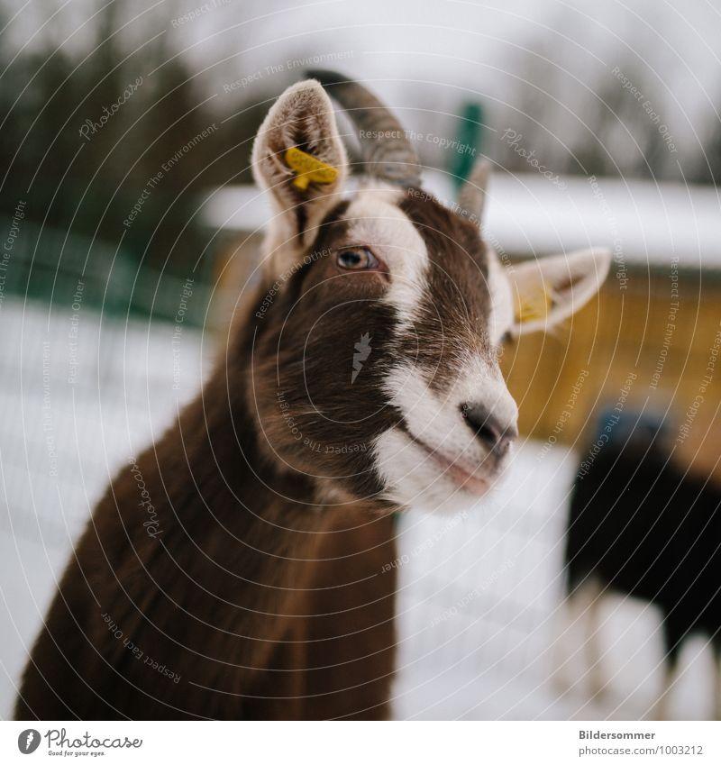 gar nicht zickig Winter Schnee Tier Nutztier Tiergesicht Zoo Streichelzoo Ziegen 1 beobachten füttern Blick Neugier braun weiß Fröhlichkeit Zufriedenheit