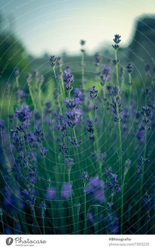 Lavendel Umwelt Natur Pflanze Blume Blüte Lavendelfeld Gefühle Glück Romantik schön Sehnsucht Duft duftig violett Farbfoto Außenaufnahme Nahaufnahme