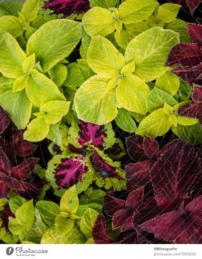 Kontraste Ferien & Urlaub & Reisen Umwelt Natur Pflanze Frühling Blatt Grünpflanze gelb grün rot skurril träumen Farbenspiel Farbkombination mehrfarbig Farbfoto