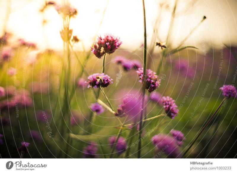Patagonisches Eisenkraut Natur Pflanze grün Sommer Umwelt Blüte rosa Sträucher violett Glaube Insekt Duft Biene Sommerurlaub sommerlich Wildpflanze