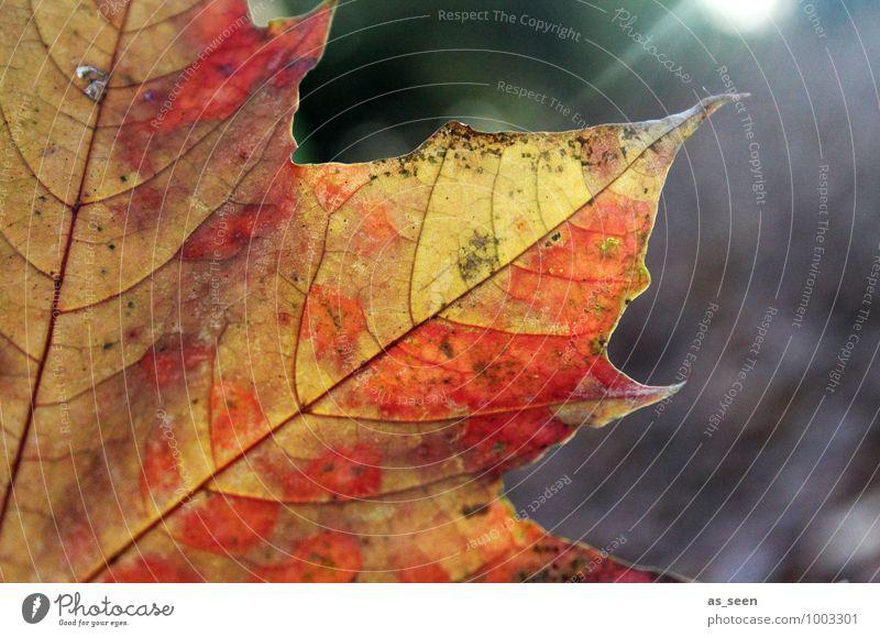 Indian summer Wellness harmonisch Zufriedenheit ruhig Umwelt Natur Pflanze Herbst Schönes Wetter Baum Blatt Ahornblatt Park Wald Kanada alt leuchten verblüht