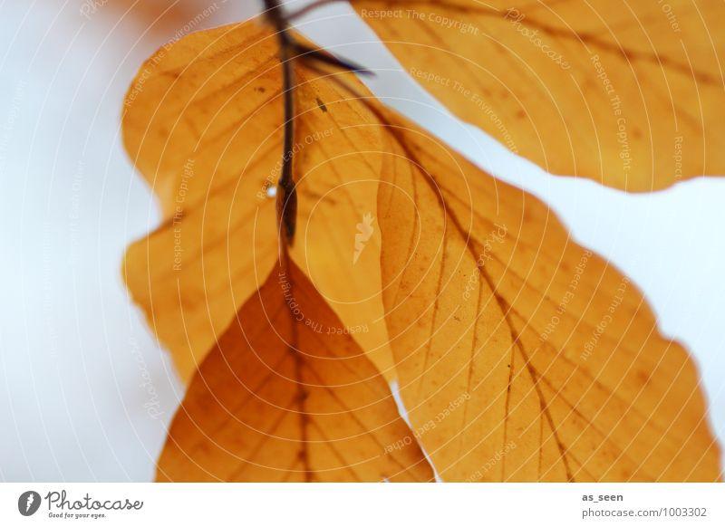 Autumn leaves schön Wellness harmonisch ruhig Umwelt Natur Pflanze Herbst Wetter Baum Blatt Buche Buchenblatt Blattadern Laubbaum Herbstlaub Wald schaukeln