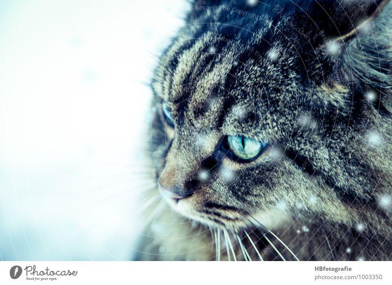 Hauskatze im Schnee Tier Haustier Katze 1 beobachten ästhetisch elegant kalt natürlich Neugier schön Stimmung Coolness Tierliebe Abenteuer Freiheit träumen