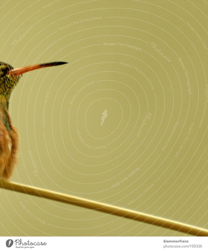 Little-Stabhochsprung #1 Überschreitung Vogel Tier Olympiade herausfordernd Mut springen Sprungkraft Schnabel gelb braun schwarz Zoo Tiergarten gefangen frei