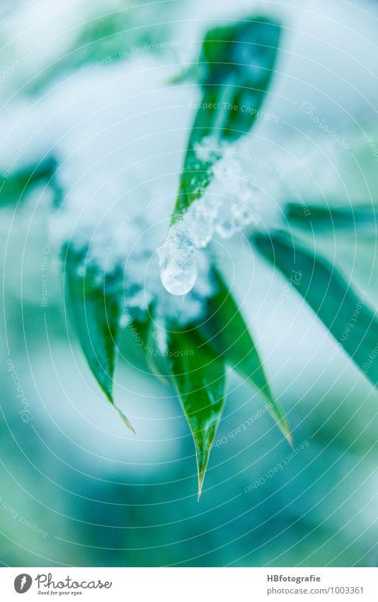Eis-Bambus Natur Pflanze Wasser Winter Frost Schnee Gras Grünpflanze exotisch frisch kalt grün weiß Tauwetter Wassertropfen tauen gefroren Bambusblatt Farbfoto