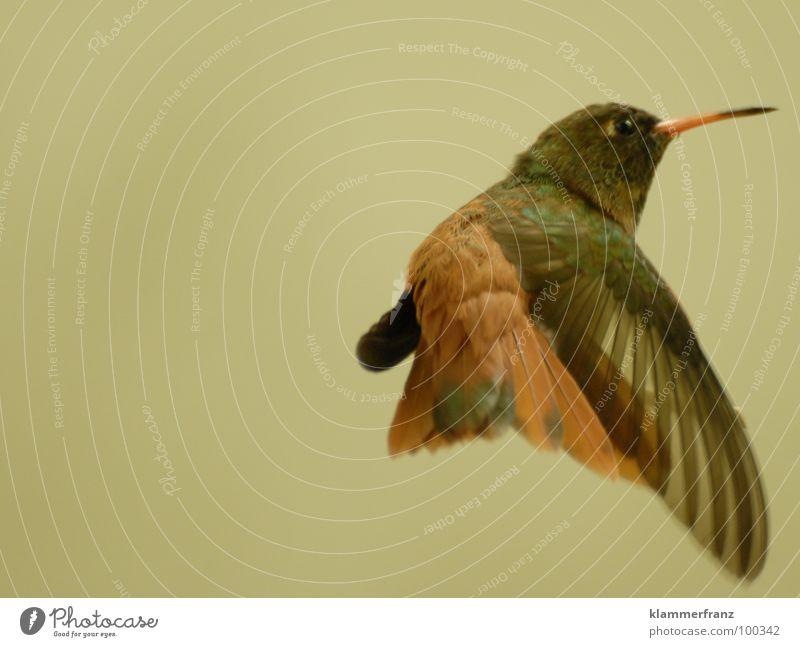 Little-Stabhochsprung #2 Überschreitung Vogel Tier Olympiade herausfordernd Mut springen Sprungkraft Schnabel gelb braun schwarz Zoo Tiergarten gefangen frei