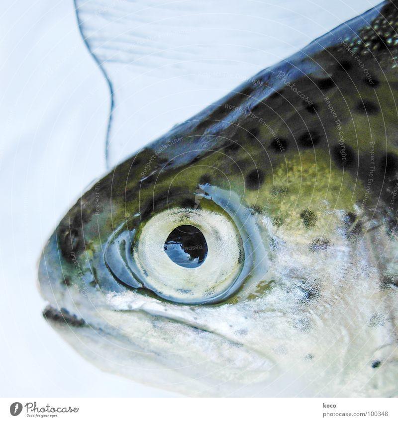 fish Wasser Auge See Fisch Bach Tier Forelle schillernd
