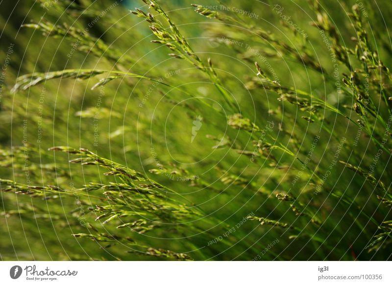 wie grün? Gras Wiese Sommer Frühling springen frisch Makroaufnahme Verlauf dunkel Halm trocken Stroh Ähren Stengel Sonnenlicht Reifezeit gedeihen Wachstum