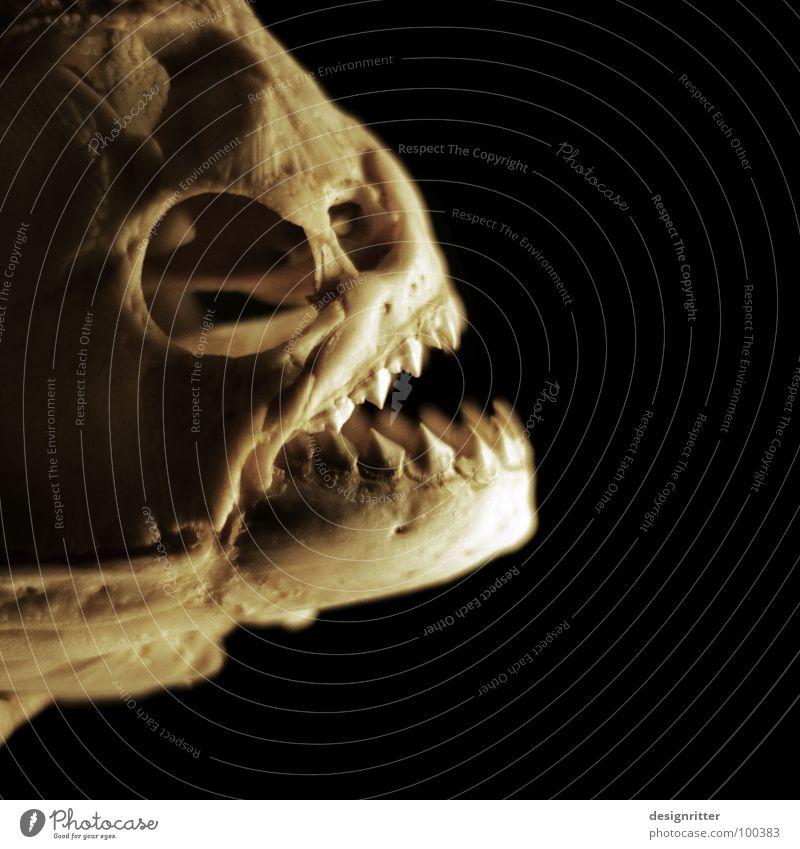 Carabito Wasser Ernährung gefährlich Fisch bedrohlich Gebiss Fressen Blut Südamerika Vorsicht Dieb Jäger beißen Skelett Schädel Fischgräte