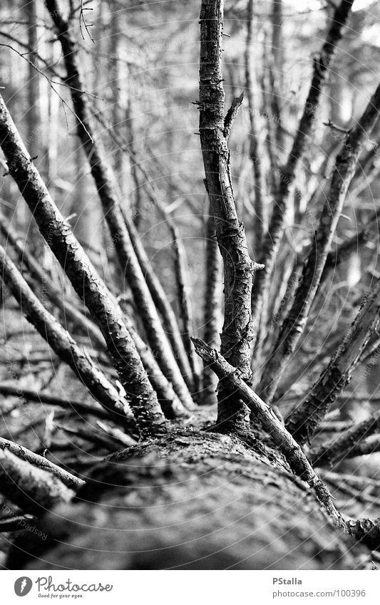 Deadwood Wald Baum Holz Trauer Außenaufnahme Verzweiflung Schwarzweißfoto Baumstamm Tod umgestürzt schroff leer alt