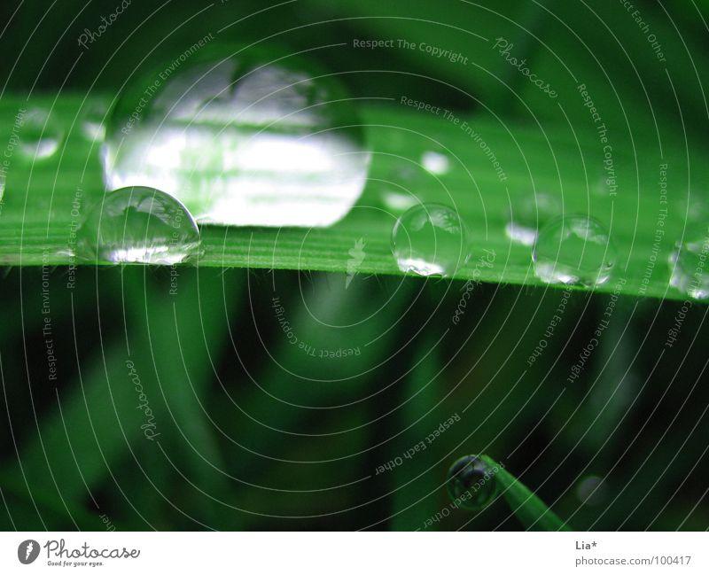 Perlentaucher Gras nass grün Wiese Regen Reflexion & Spiegelung Wasser Makroaufnahme Nahaufnahme Wassertropfen perlenbenetzt Natur Planze