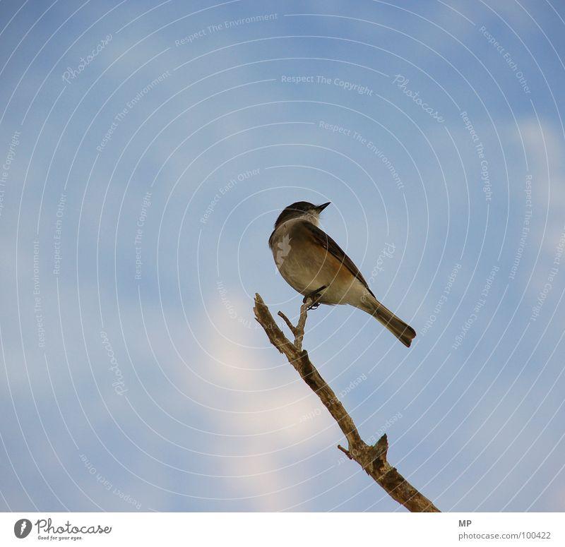 ist ja nur ein vogel... Natur Himmel Tier Vogel fliegen Aussicht Feder Flügel Ast Schnabel Spatz Alarm aufreizend Meisen