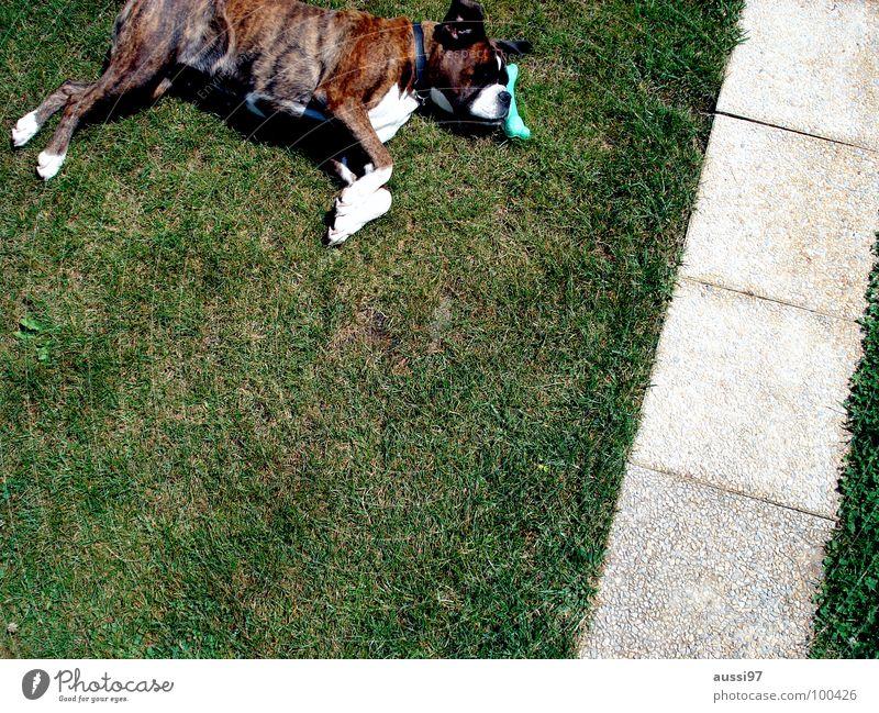 Have a break, have a bone. Hund Pause Hundefutter Tier Gelassenheit Erholung vollgefressen Fressen Haustier Tierheim Säugetier Boxer Boxerhund liegender Hund