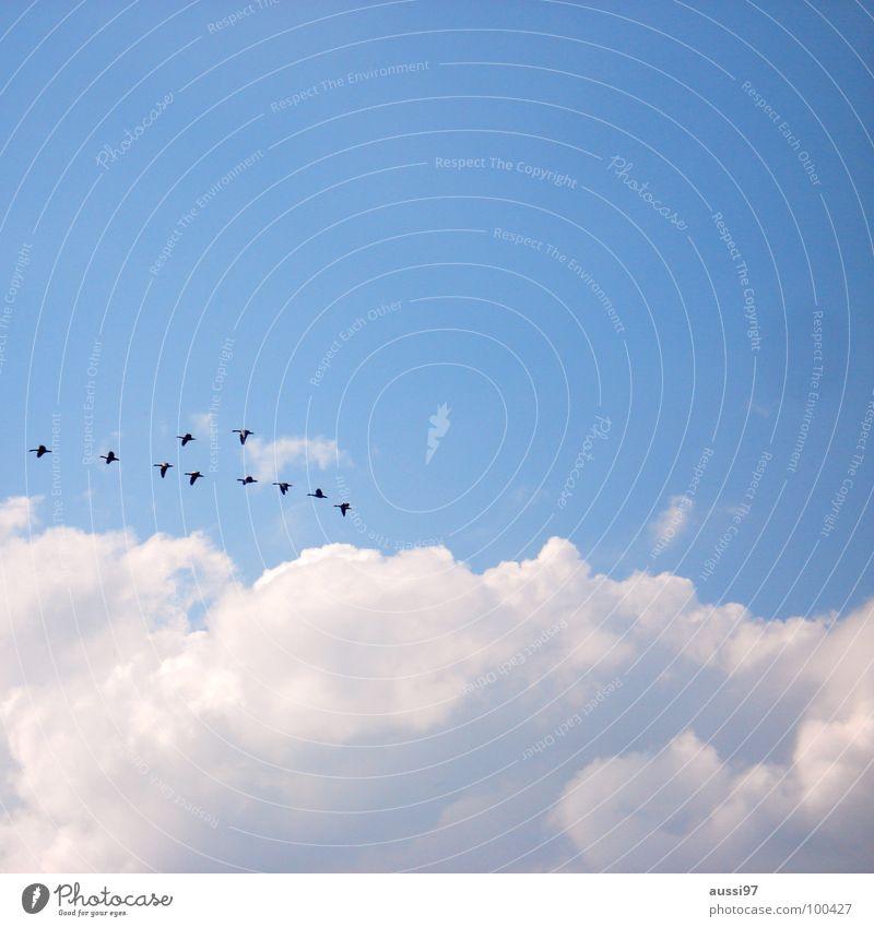 In formation Vogel Gans heimwärts Wohnung Zugvogel Schweben Beginn wiederkommen Frieden Ente was weiss ich denn Himmel fliegen