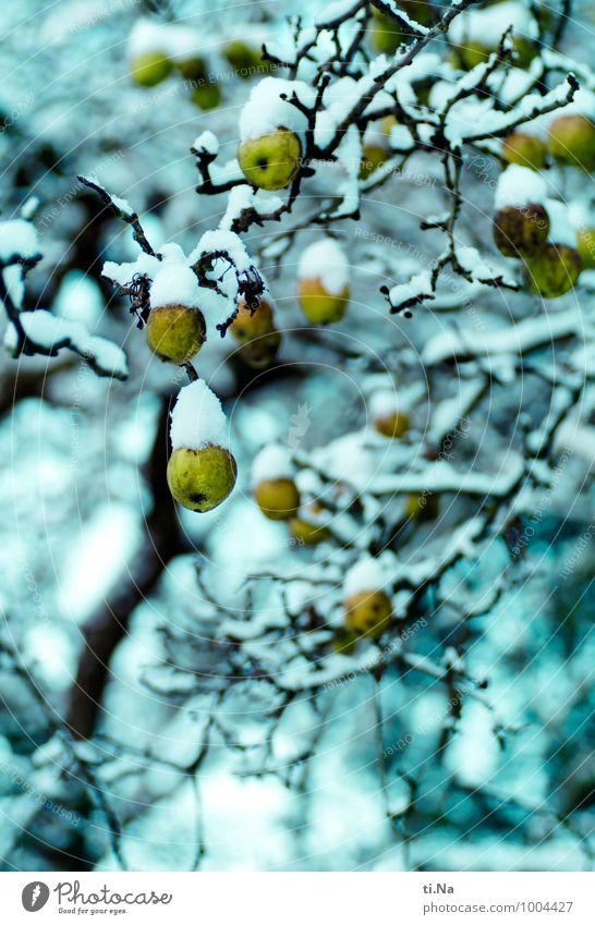 Winterapfelzeit Apfel Bioprodukte Vegetarische Ernährung Klima Eis Frost Schnee Baum Nutzpflanze Apfelbaum Garten frieren hängen Wachstum warten Gesundheit kalt