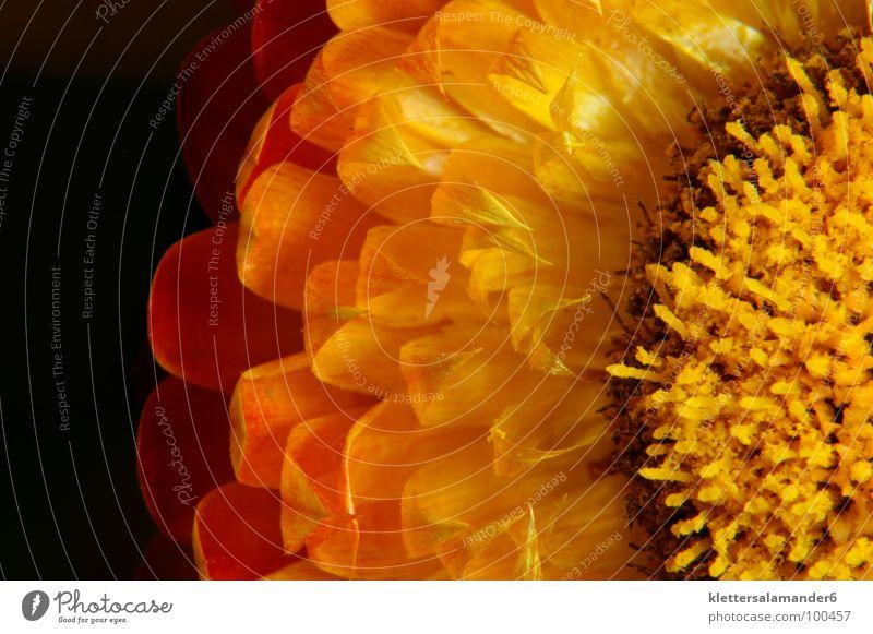 Strohblume Blume Blüte Blütenblatt gelb Makroaufnahme Nahaufnahme Staubfäden orange