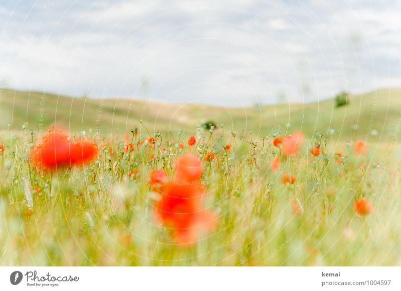 Just another Mohnday Himmel Natur Pflanze grün Sommer rot Landschaft Wolken Umwelt Wiese Feld Wachstum Blühend Italien Hügel