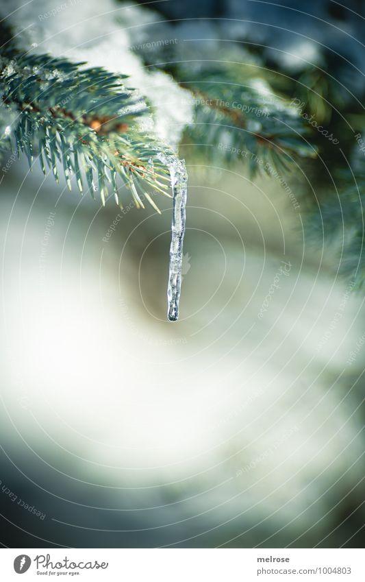 """Eiszeit II Winter Schnee Winterurlaub Umwelt Natur Baum Wildpflanze """"Tannenzweig,"""" Ast Tannennadel Wald Eiszapfen frieren hängen kalt nass braun grün weiß ruhig"""
