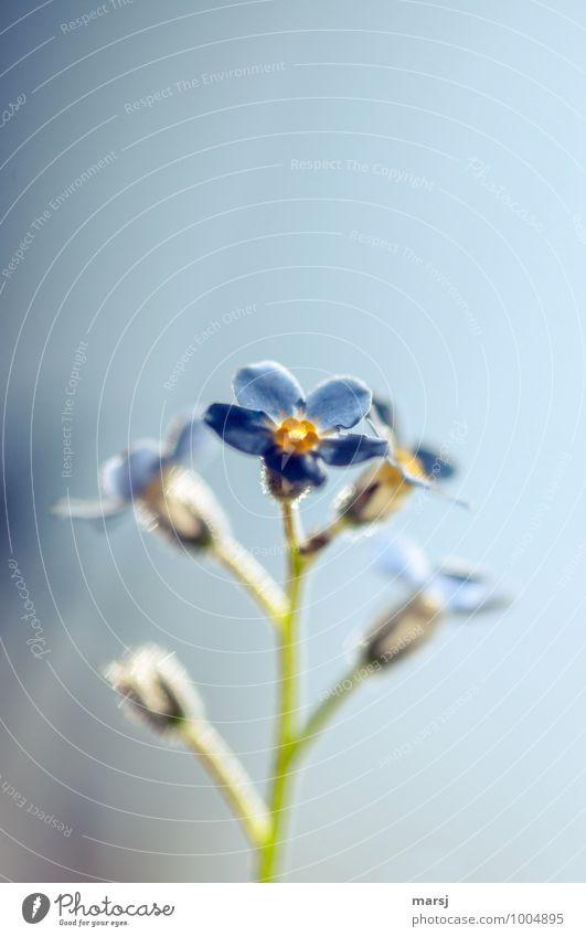 Vergiss es nicht Natur Pflanze Frühling Blume Blüte Wildpflanze Vergißmeinnicht Vergißmeinnichtblüte Blühend leuchten träumen Traurigkeit dunkel dünn