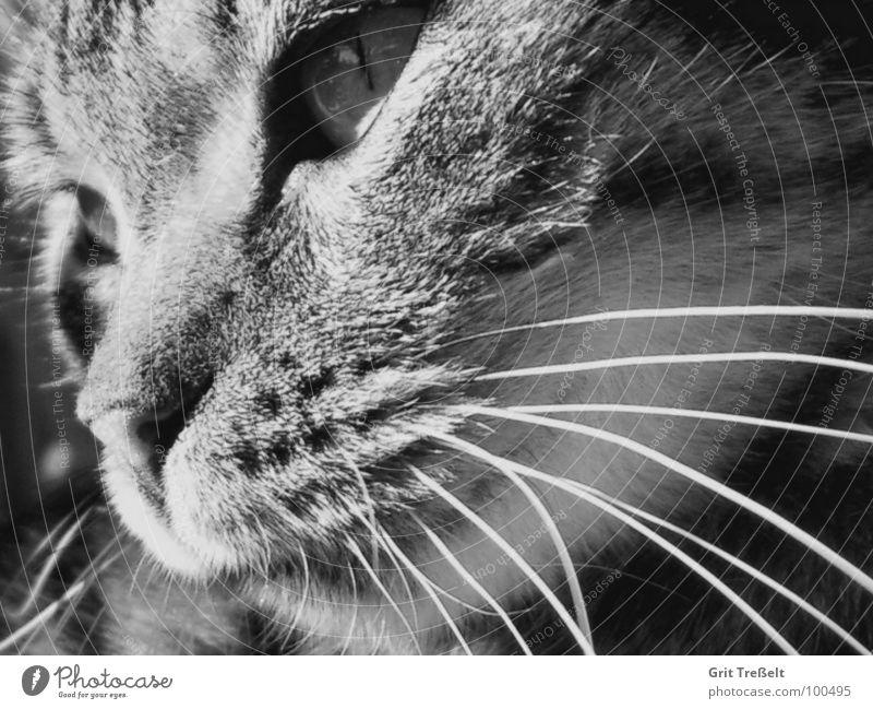 Gedanken weiß schwarz Auge Katze Nase süß Säugetier Hauskatze