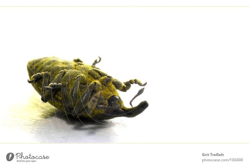 Rüsselkäfer stellt sich tot gelb liegen Insekt Käfer