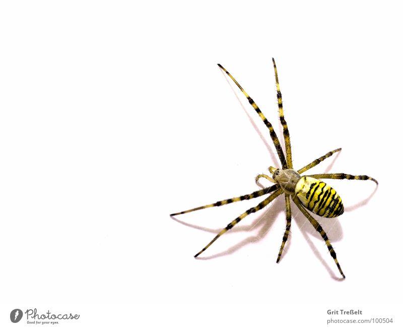 Wespenspinne Spinne Ekel klein Makroaufnahme Angst Auge