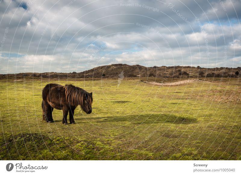 Shetland Pony #2 Himmel Natur Pflanze grün Sonne Landschaft ruhig Wolken Tier Wiese Gras klein braun Idylle stehen Schönes Wetter