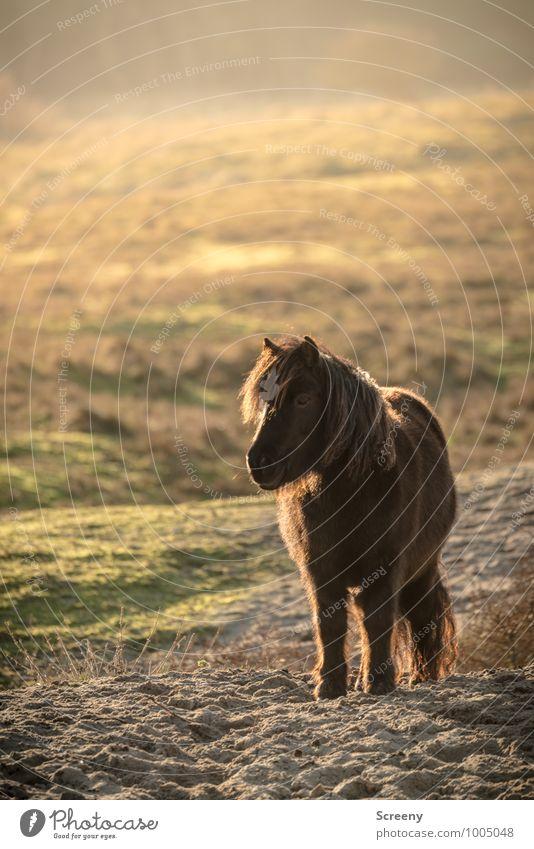 Shetland Pony #3 Natur Pflanze grün Sonne Landschaft ruhig Tier Wiese Gras klein Sand braun Idylle stehen Schönes Wetter Pferd