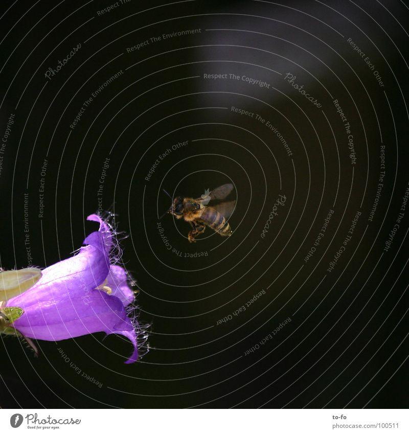 fleißiges Bienchen Biene Honig Sammlung Insekt Blüte Glockenblume Sommer rechnen Luftverkehr