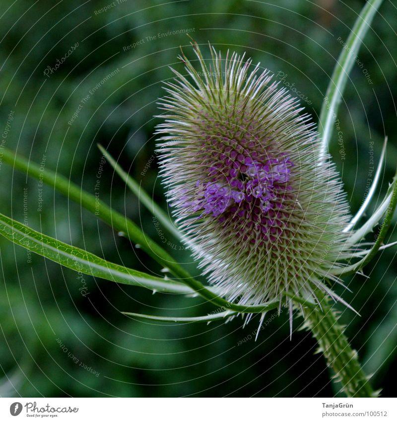 Thistle III grün Pflanze stechen Wachstum Dorn Distel Wegrand schön Feld violett Blüte Makroaufnahme Nahaufnahme Stachel Spitzig Spitze Edelunkraut Pieksen