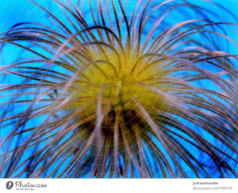 Hippie blau Pflanze Sommer Samen Hippie verblüht Waldrebe