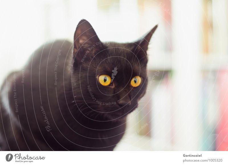 Siyah Katze schön ruhig Tier schwarz gelb Tierjunges elegant gold ästhetisch Fell Tiergesicht Haustier Katzenohr