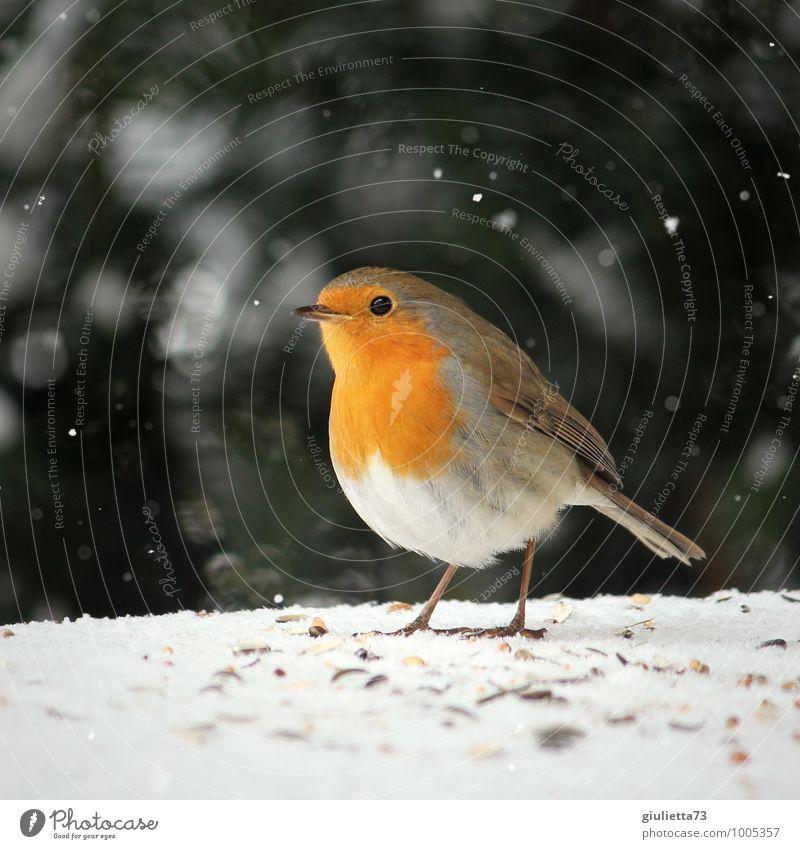 Mein kleiner Liebling Winter Schnee Schneefall Garten Tier Wildtier Vogel Rotkehlchen Singvögel 1 beobachten Fressen füttern ästhetisch Freundlichkeit schön