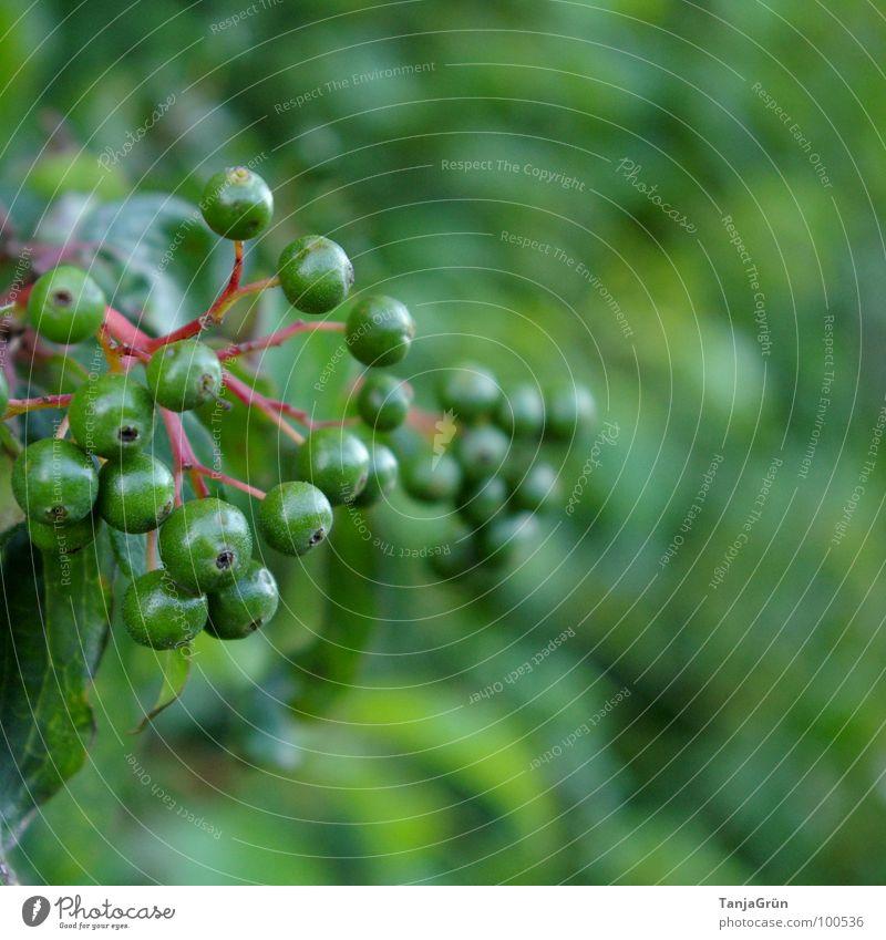 Beerenzeit? Natur grün rot Gras Frucht Sträucher Spaziergang zart Stengel Beeren Vitamin Wegrand Holunderbusch unreif Ton-in-Ton