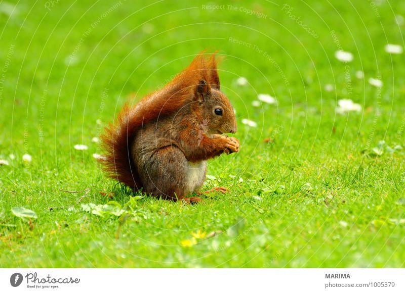 A squirrel on green grass. Natur grün rot Tier Wiese Gras braun Behaarung Wildtier Europa Fell Rost Halm Säugetier beige Eichhörnchen
